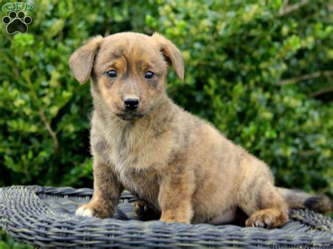 dorgi puppies for sale dorgi puppies for sale dorgi breed profile greenfield puppies