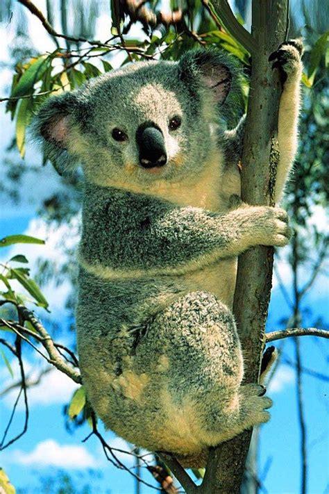 wallpaper iphone koala wallpaper iphone 4 apple 640 x 960 awesome 950