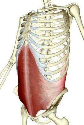transverse abdominis learn  muscles custom pilates