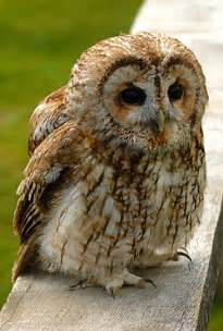 Call Of The Barn Owl Tawny Owl Animal Wildlife