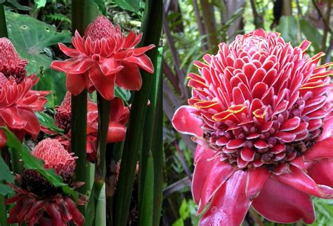 manfaat  khasiat bunga kecombrang  kesehatan