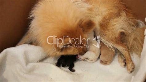 pomeranian feeding newborn pomeranian puppies feeding royalty free and stock footage