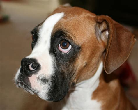 what age is a puppy what is a age to a boxer neutered