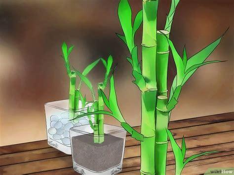 Tanaman Hias Bambu Hoki Spiral cara memelihara pohon bambu pembawa hoki wikihow