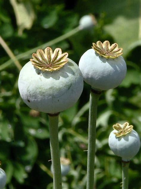 Opium by Papaver Somniferum Opium Poppy Go Botany