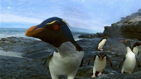 strong opinions the penguin 0141197196 rockhopper penguins make landfall nature on pbs youtube