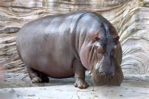 what color is a hippo top 10 gevaarlijkste dieren meeste menselijke slachtoffers
