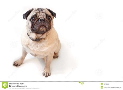 pug royalty pugs tree royalty free stock 28 images pug costume stock photos images pictures