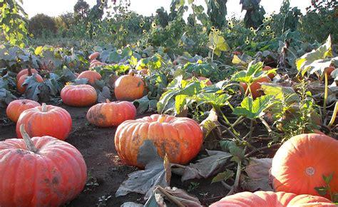 rutledge corn maze  pumpkin patch  olympia opens