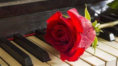 red rose  piano relaxing  meditation desktop hd