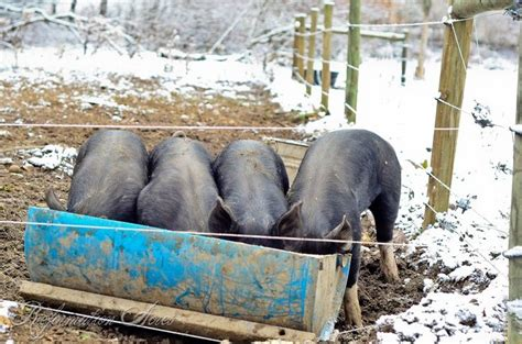 backyard pig raising 274 best homestead pigs hogs images on pinterest