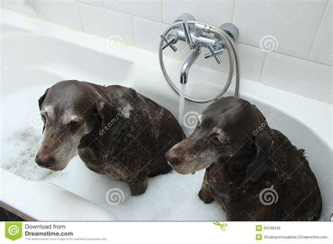 2 dogs in a bathtub dogs in the bathtub royalty free stock photo image 34198345