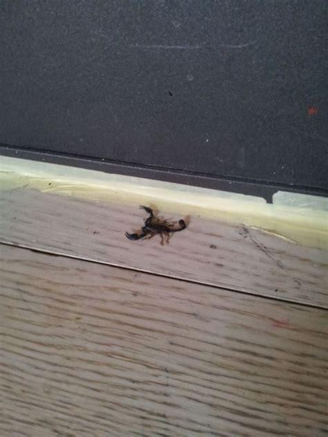 scorpione in casa scorpione trovato in casa forum natura mediterraneo