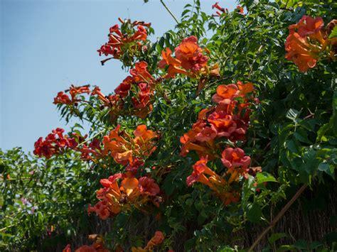 wann sind mediterrane rankpflanzen winterhart arten und - Winterharte Rankpflanzen