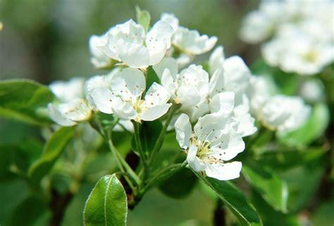 pianta fiori bianchi fiori bianchi