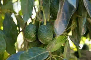 engineer  iot  save  avocado farm