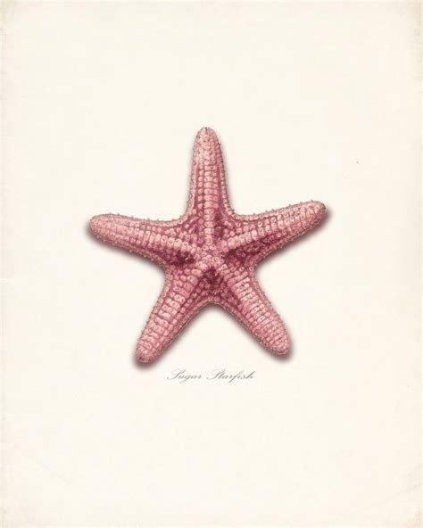 vintage sugar star sea shell wall decor print by