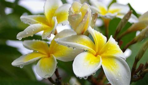 manfaat bunga kamboja  bagian lainnya manfaatcoid