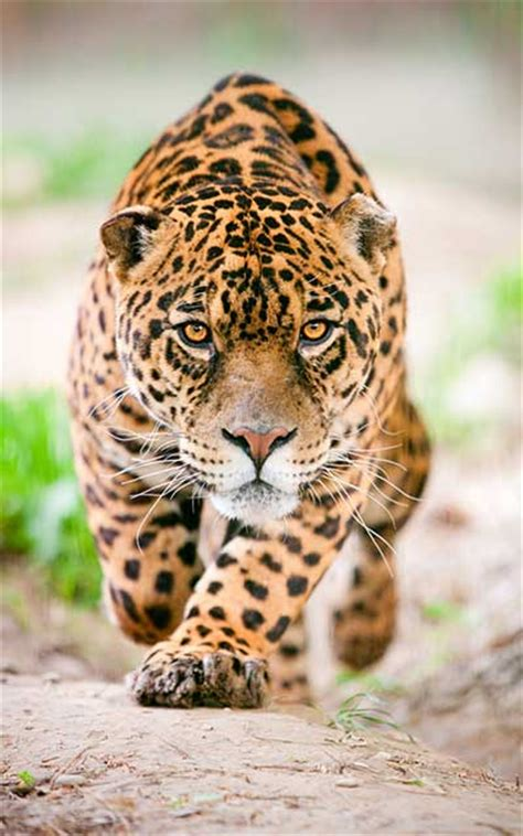 imagenes del jaguar en su habitat jaguar informaci 243 n y caracter 237 sticas