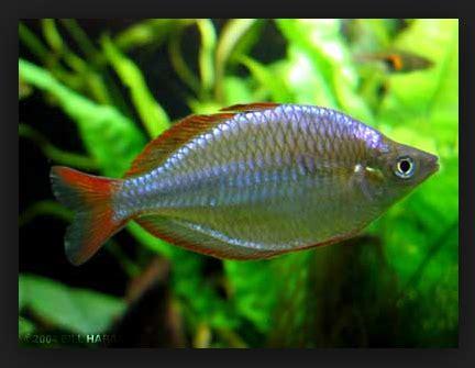 Makanan Ikan Hias Rainbow ini dia cara praktis budidaya ikan rainbow boesemani serta