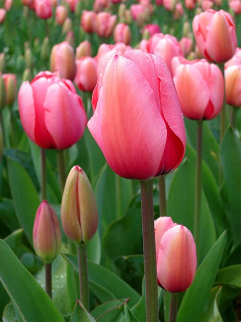 how to grow tulips plant instructions