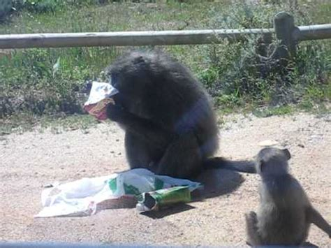 baboon attack cape of