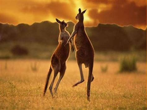 imagenes animales australia celebrity names 22 photographs of kangaroos in their