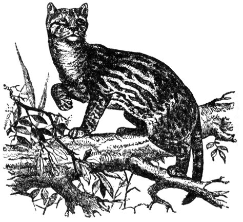 free coloring pages of ocelots