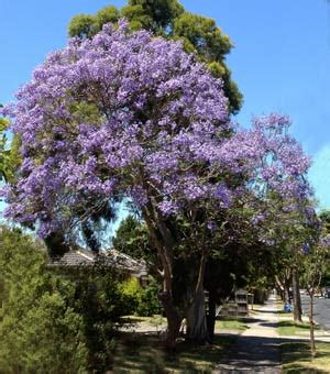 jacaranda trees wholesale nurseries  australia
