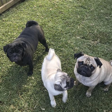 what age do pugs live to social pug profile harley lola mabel the pug diary