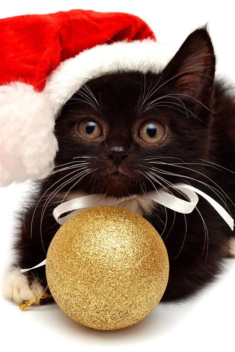 images of christmas cats 25 best ideas about christmas cats on pinterest pusheen