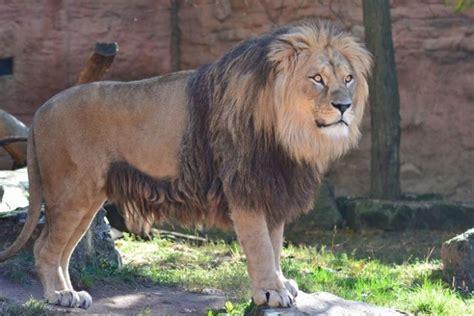 animals  start   lion jessica paster