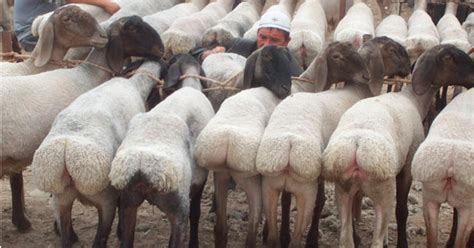 new zealand farmer arrested for selling sheep as sex