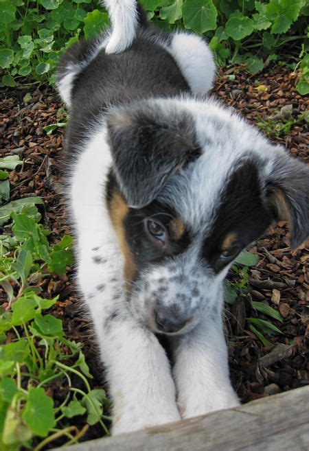 border aussie puppies had a border collie aussie shepherd mix who looked similar to his one even