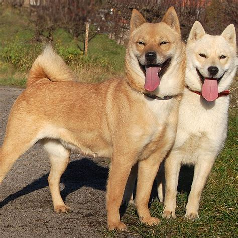 puppy dogs hokkaido breed guide learn about the hokkaido