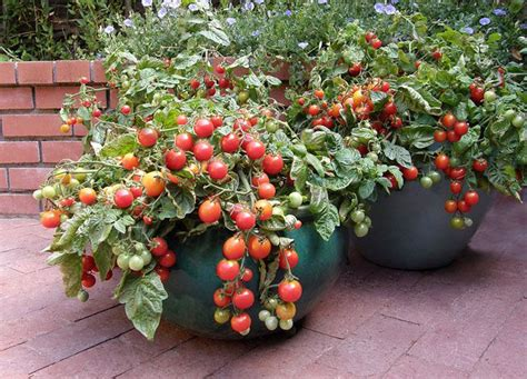 cherry tomato container gardening the secret to container vegetable gardening mnn