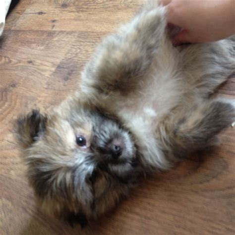 shih tzu pomeranian mix for sale uk pin shih tzu pomeranian and chihuahua puppy pictures on