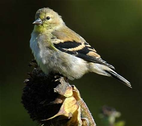 washington state bird willow goldfinch american goldfinch