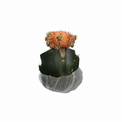 Bibit Tanaman Orange Siklam Cactus jual tanaman kaktus bright orange siklam bibit