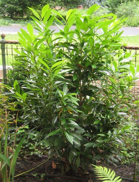 Skip Laurel Plant Prunus Laurocerasus Schipkaensis Skip Laurel Far From