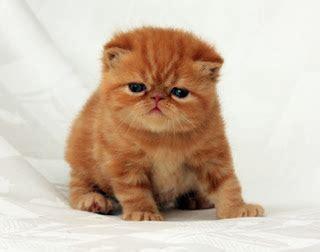 jenis jenis kucing