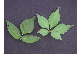 poison ivy cliff lamere