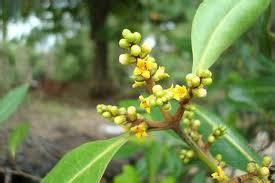 khasiat obat berbagai jenis mangrove bakau khasiat