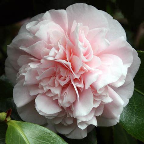 Gardenia Japonica Camellia Japonica Debutante