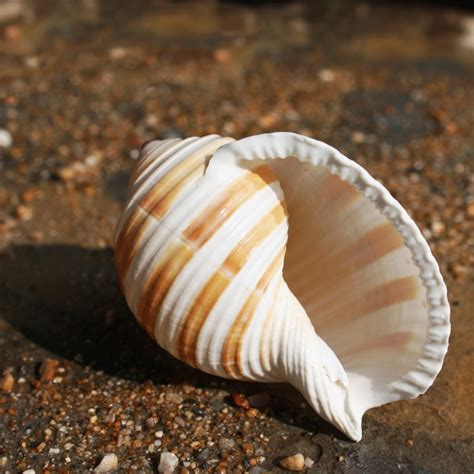 Home Decorative Items by Banded Tun Shell Shells Seashells Beach Shells Buy