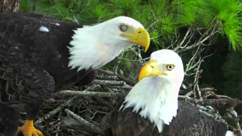 ne florida eagle cam adorable beak kisses 9 18 13