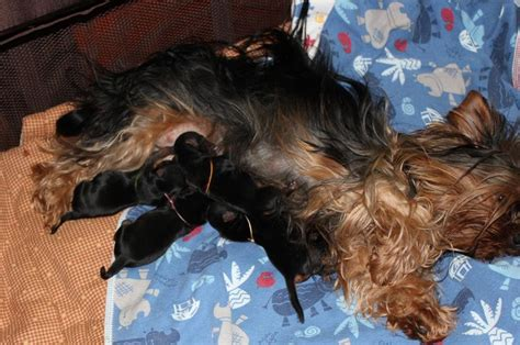 yorkie tails 17 best images about yorkies with tails undocked yorkies on coupe