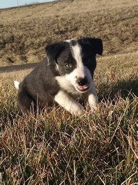 border collie puppies for sale in missouri 1000 ideas about collie puppies on puppy breeds puppy breeds and
