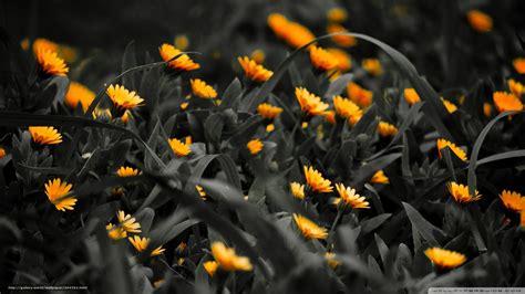 imagenes de luto en hd descargar gratis amarillo flores en luto fondos de