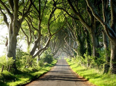amazing tree amazing tree tunnel in the northern ireland 18 pics
